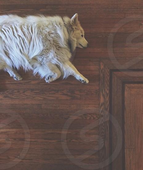 white finnish spitz on wooden floor photo