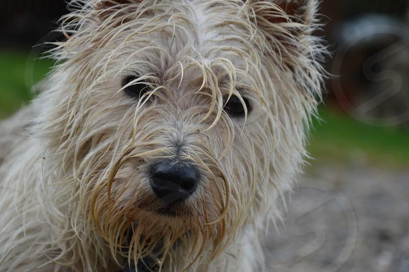 focus photo of Norwich terrier photo