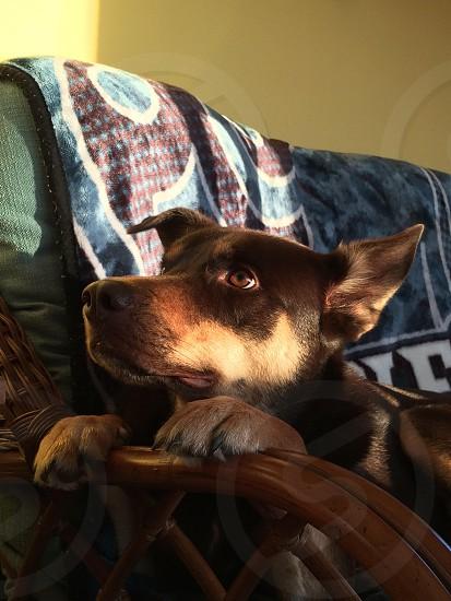 Model puppy Doberman-husky  photo