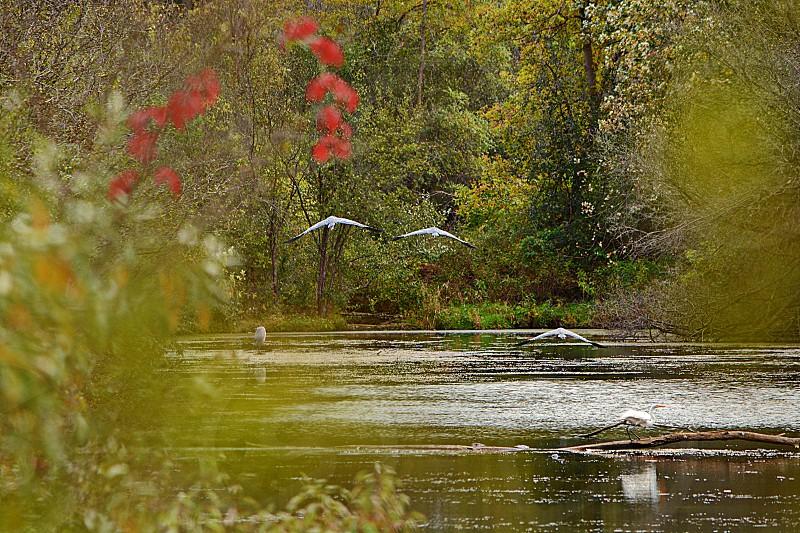 Secret Hidden Pond - blue Heron flying white egret on log. photo