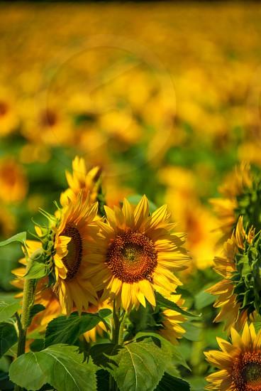 flower sunflower Kansas field nature summer photo