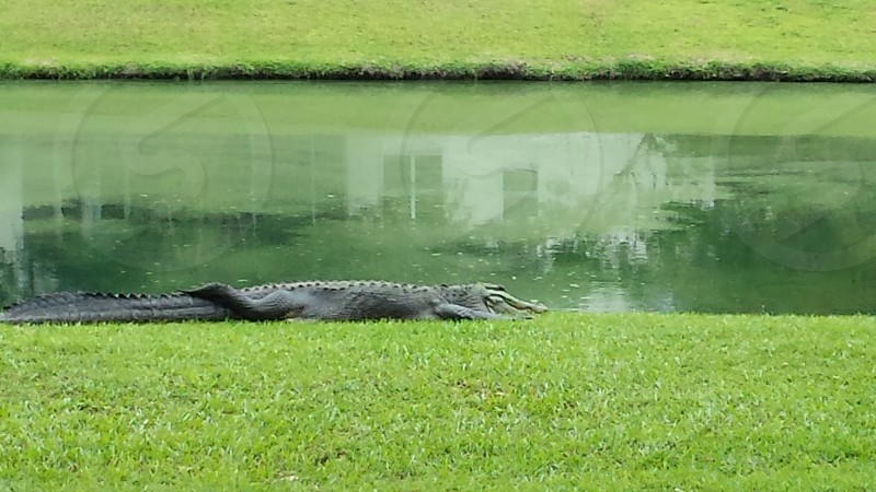 Large alligator resting next to a pond photo