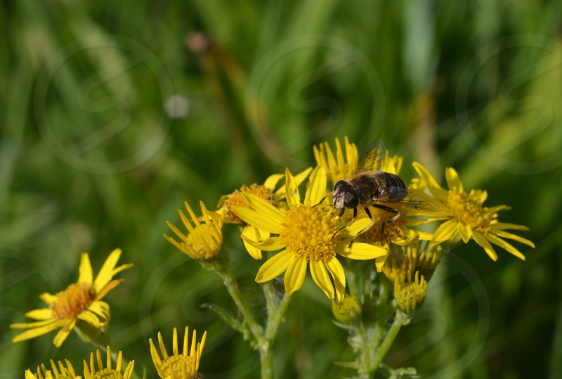 bee on yellow flowers with green background photo