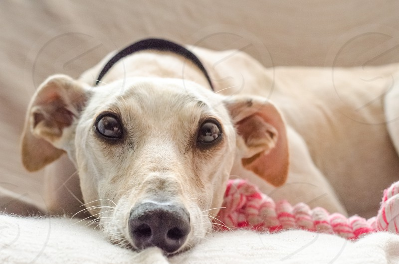 Spanish greyhound maltreated and happily adopted photo