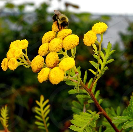 Bees yellow flowers  photo