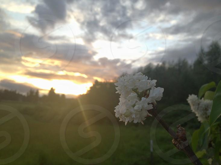 white tree flowers on sunset photo