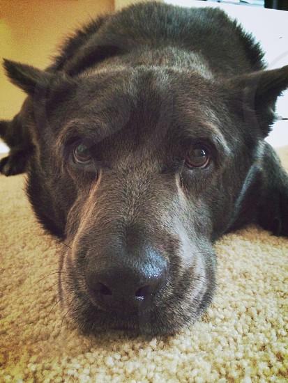 My black dog Scrump. Canine chow mixed breed dog. photo