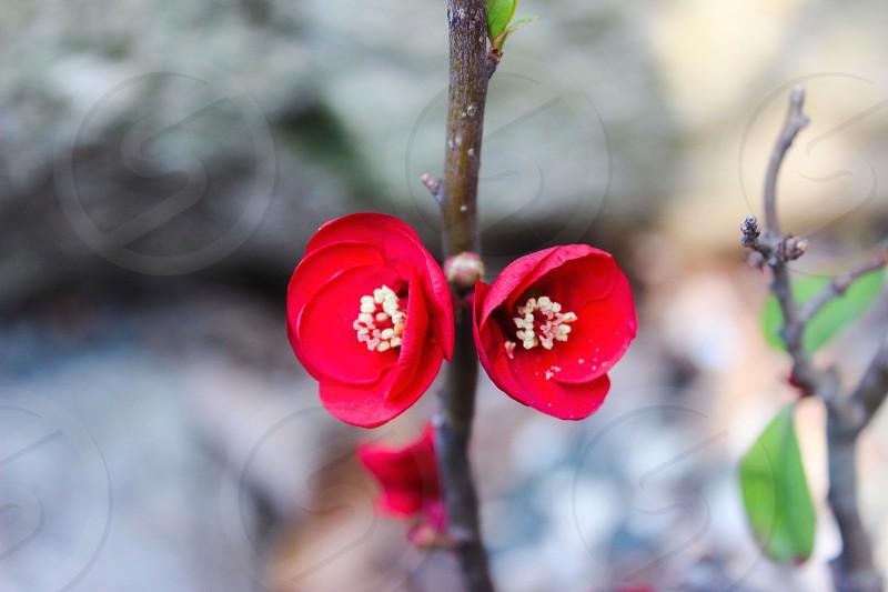 Red flowers plum plum blossoms redspringseasonspring color photo