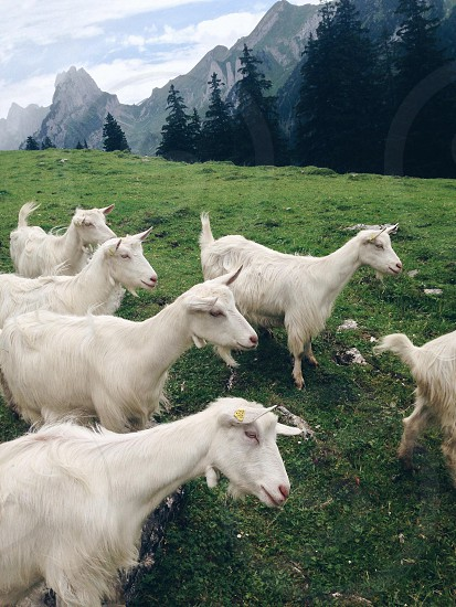 herd of white goats photo