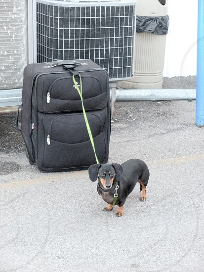 Traveling weenie dog photo