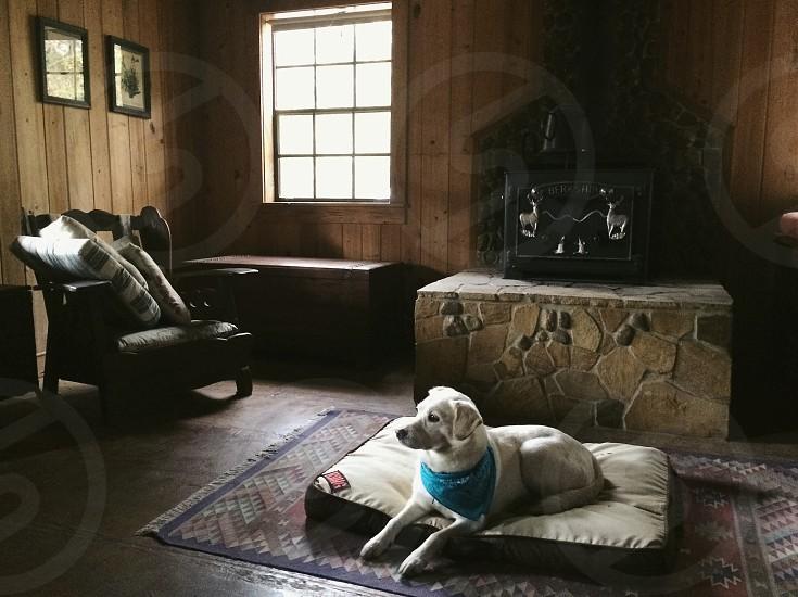 Cabin life white lab mix dog photo