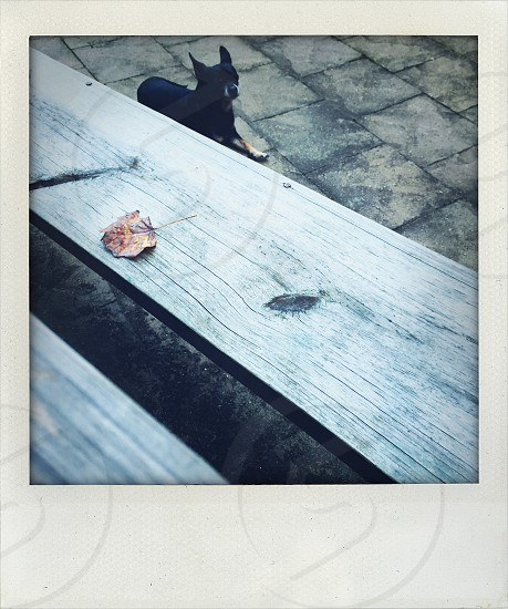 Chihuahua sitting next to a picnic table in autumn.  photo