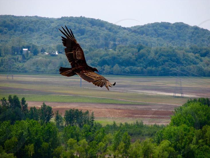 Bird vulture outdoors nature flight photo