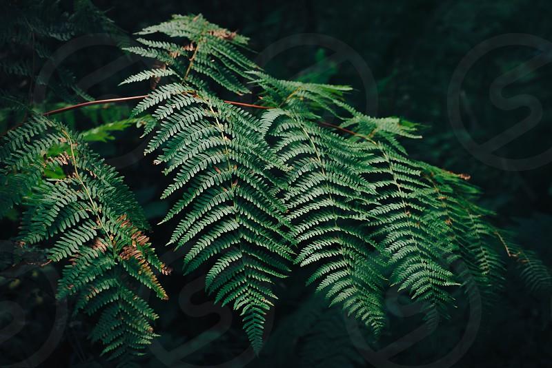 Branch of fern in dark Balcan forest. photo