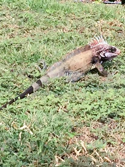 Lizards reptiles animals island vacation photo