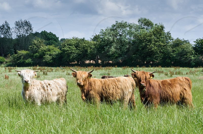 highland cow cows field farmtrees long haired cow photo
