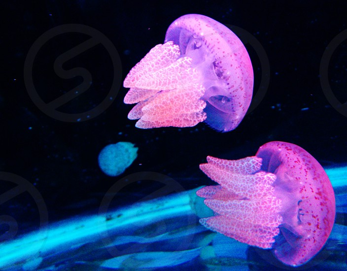 purple and pink jellyfish swimming in body of water photo