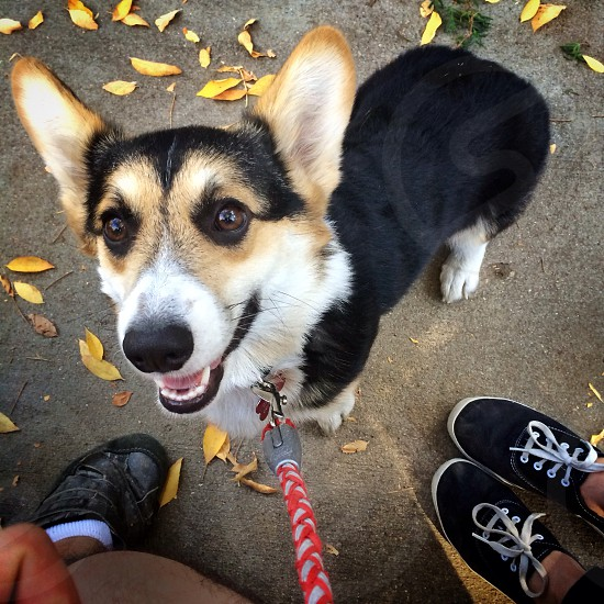 brown white and black short haired dog photo