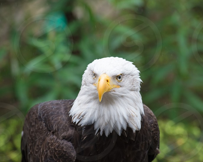 Bald Eagle 4 - Tongass Rain Forest Alaska photo