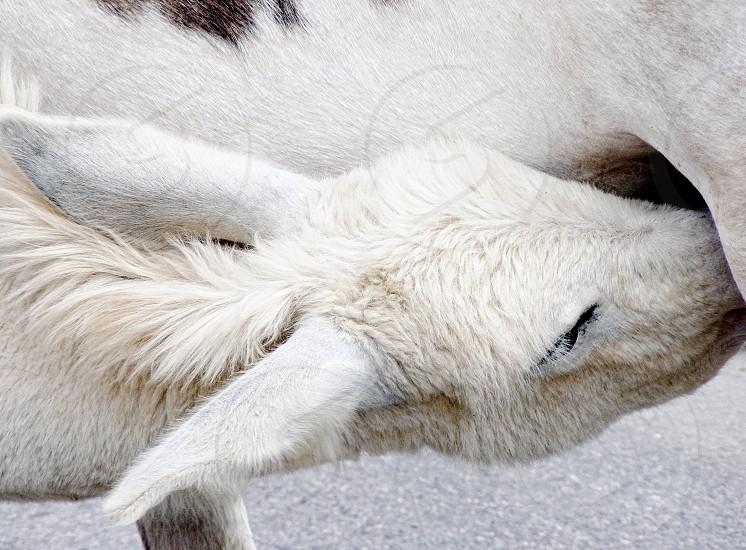 Wild baby burro of Oatman AZ nurses from its mother. photo