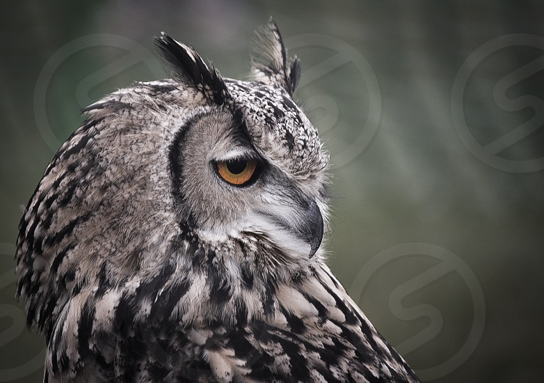 Owl owls beak feathers staring eyes intense beautiful photo