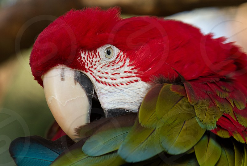 A green-winged macaw at the Alligator Farm in St. Augustine Florida photo