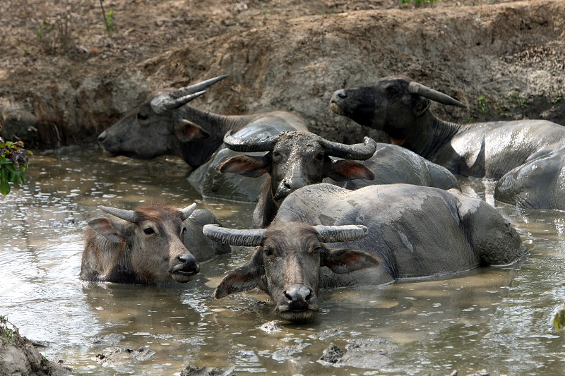 buffalos near the town of Baucau in the north of East Timor in southeastasia. photo