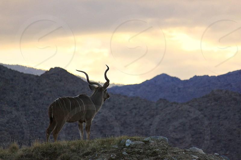 African Kudu photo