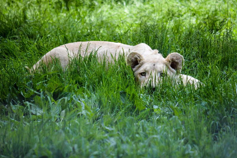 White Lion hiding in the long grass photo
