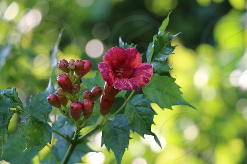 wild vine trumpet flower photo