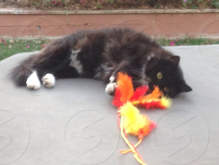 black himalayan cat playing with orange feathers photo