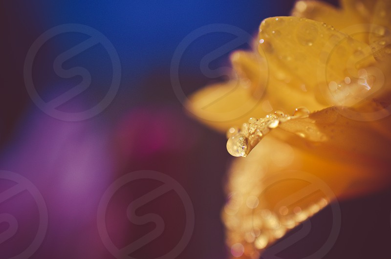 Water droplets on a flower.  photo