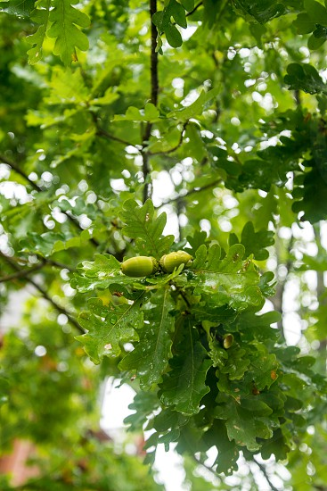 Brunches of an oak tree with green acorns photo