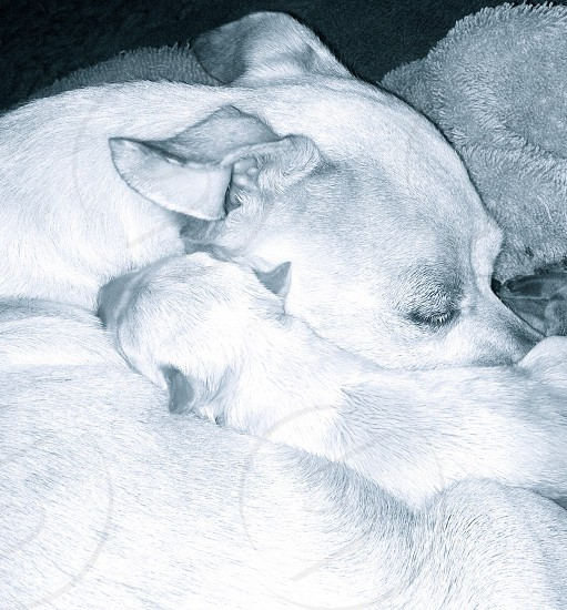 white dog and its puppy photo