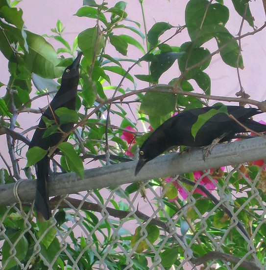 Pair of grackles chain link fence foliage photo