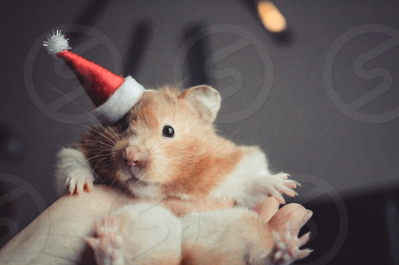 Funny cute fluffy little hamster sitting on a hand photo
