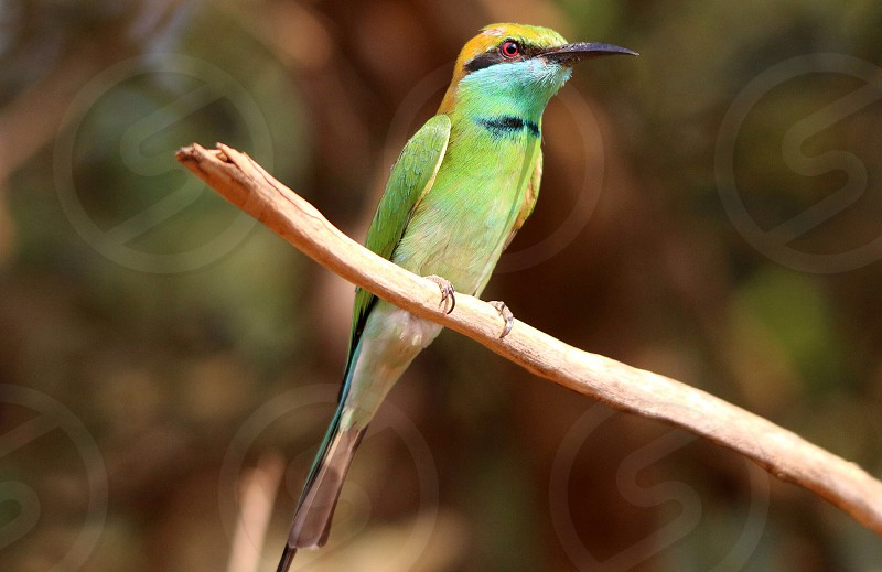 Green Bee Eater photo
