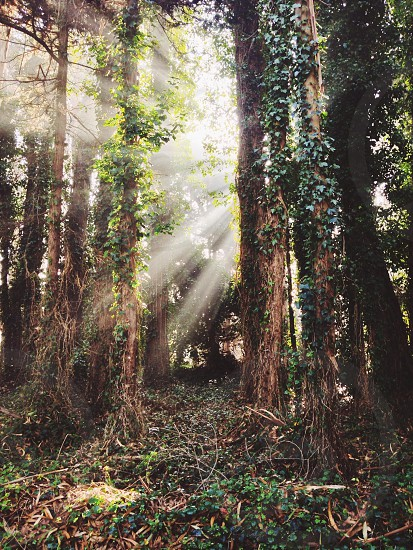 tall trees photo