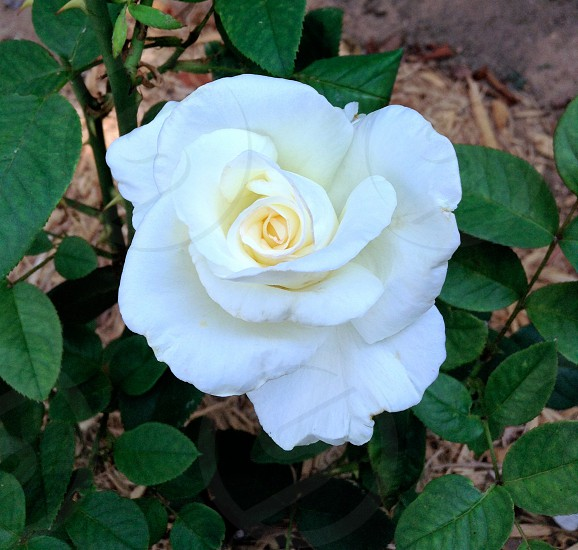 white rose blossom photo