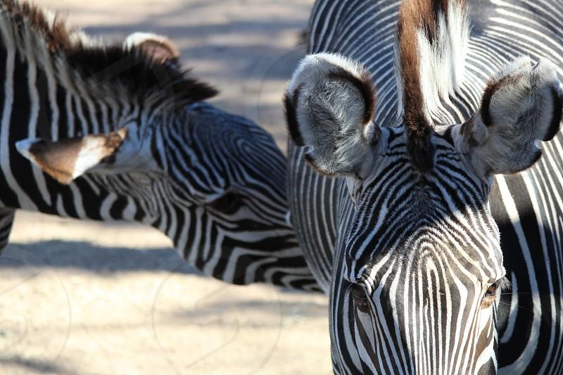 Zebra family at the zoo. photo