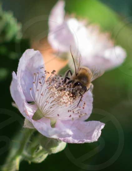 bumblebee on white flower photo