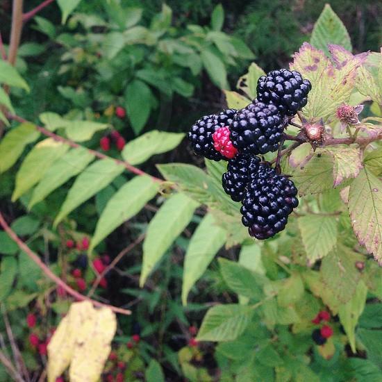 black berry plant photo