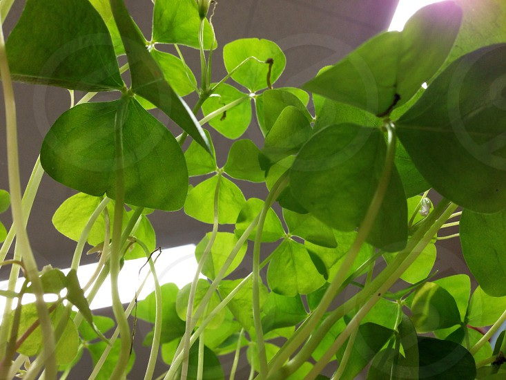 green shamrock plant  photo