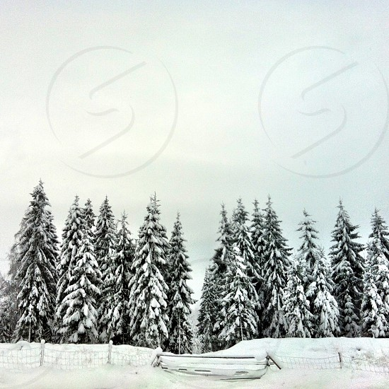 snow covered pine trees photo