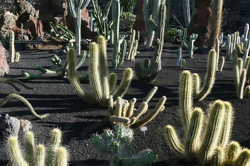 EUROPA SPANIEN ATLANTISCHER OZEAN KANAISCHE INSELN KANAREN LANZAROTE INSEL GUATIZA KAKTUS GARTEN KAKTUS CACTUS PFLANZEN NATUR KEKTEENDie Kaktus Anlage im Kaktus Garten bei Guatiza im Osten der Insel Lanzarote auf den Kanarischen Inseln.  (KEYSTONE/Urs Flueeler)  photo