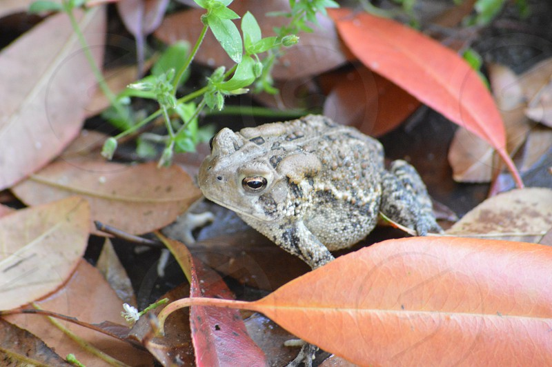 brown toad on brown leaves photo