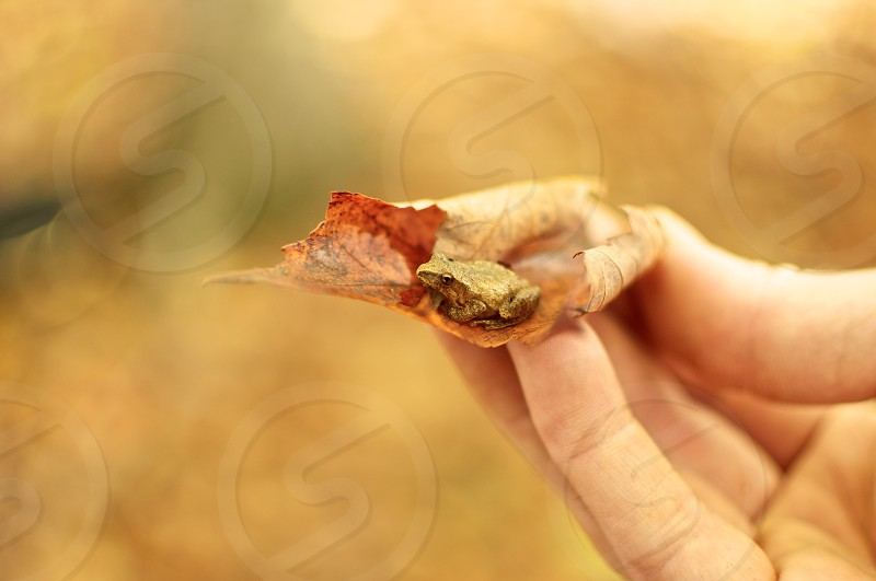 fall frog hand leaves photo