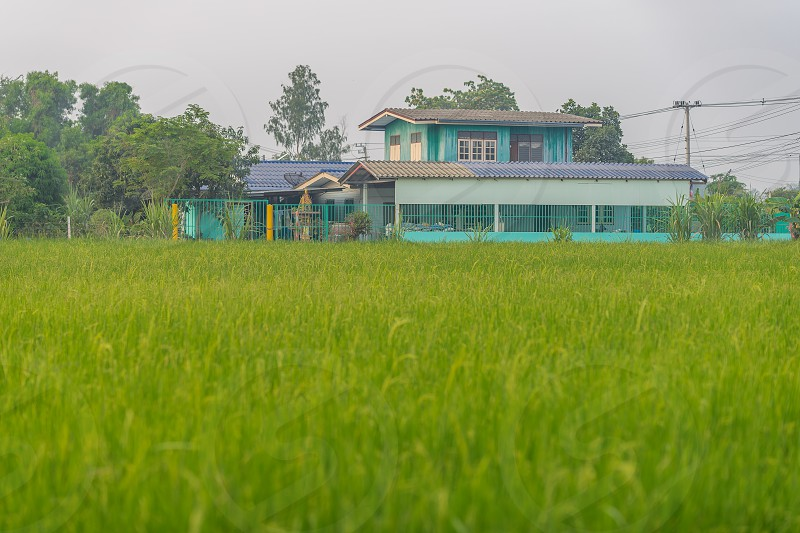 A green rice field and farmhouse in the background. photo