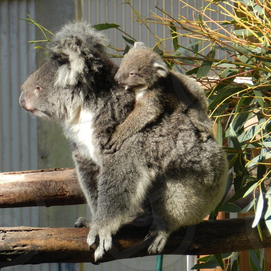 Koala & Cub photo