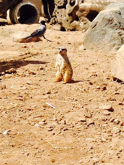 Meerkat sitting on sand photo